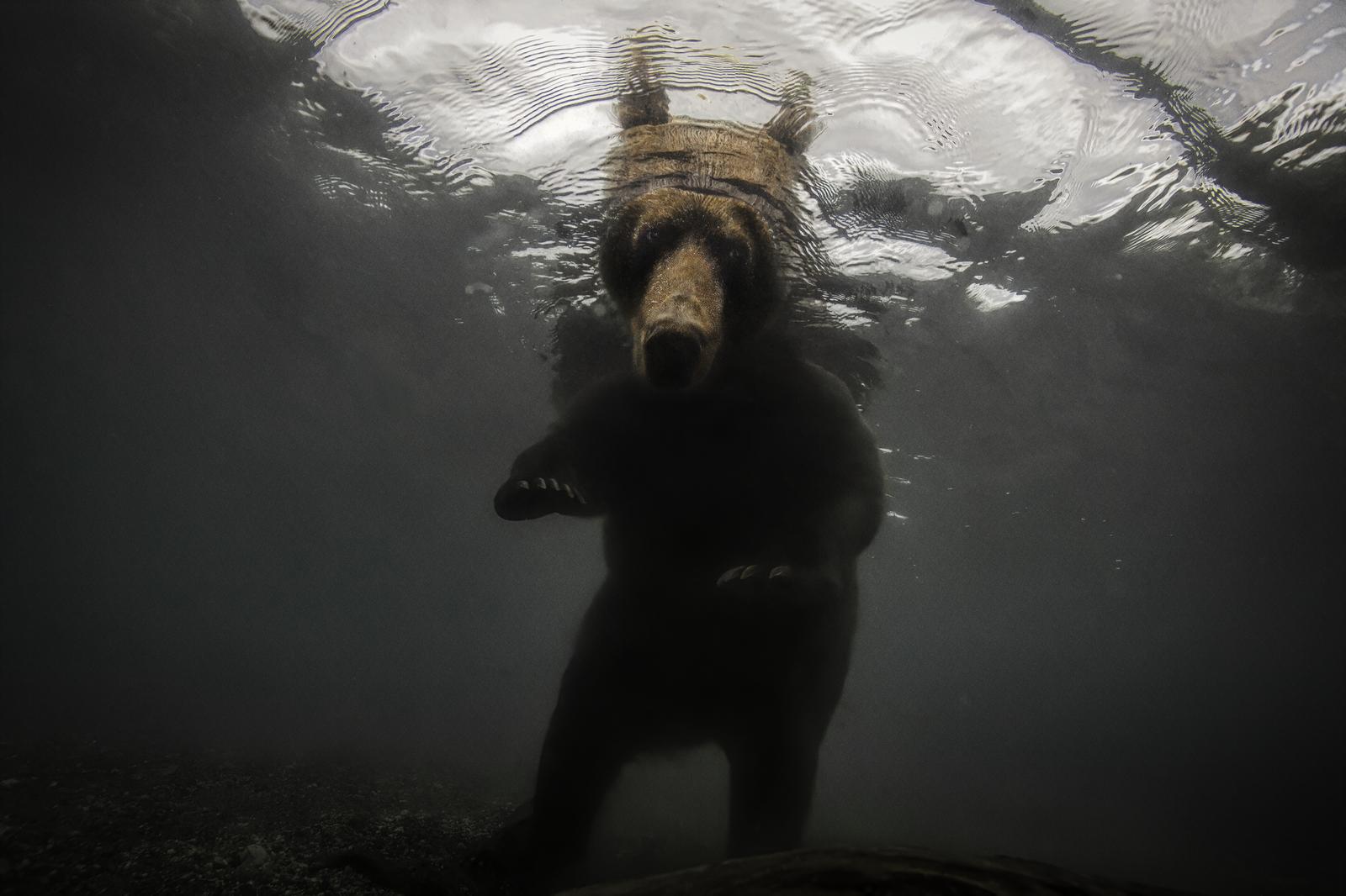 Brown Bear Underwater in Kamchatka