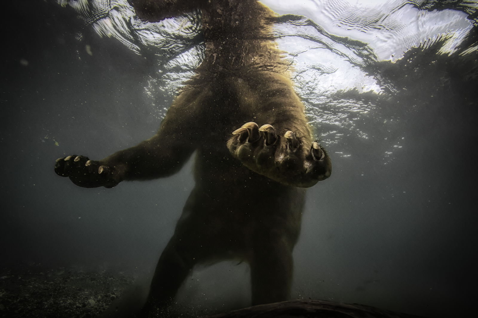 Brown Bear-Grizzly-Underwater