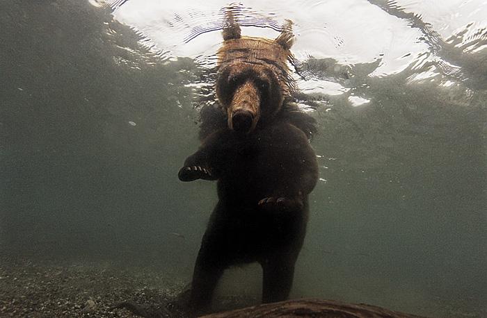 Brown Bear Underwater Fishing for Salmon