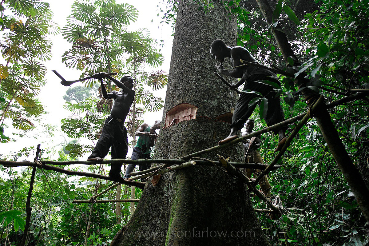 Pygmies Cut Down Their Own Forest For Gold | Ituri, Congo