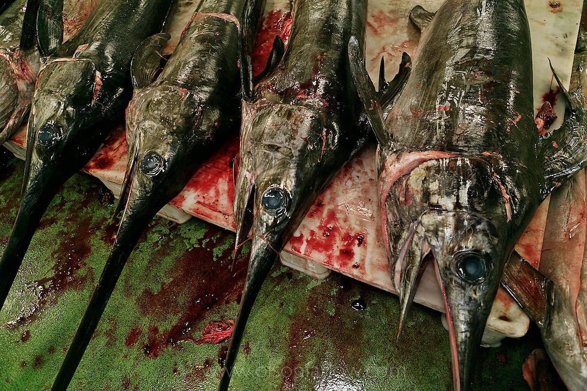 Swordfish in Vigo Port Fish Market | Burela, Spain