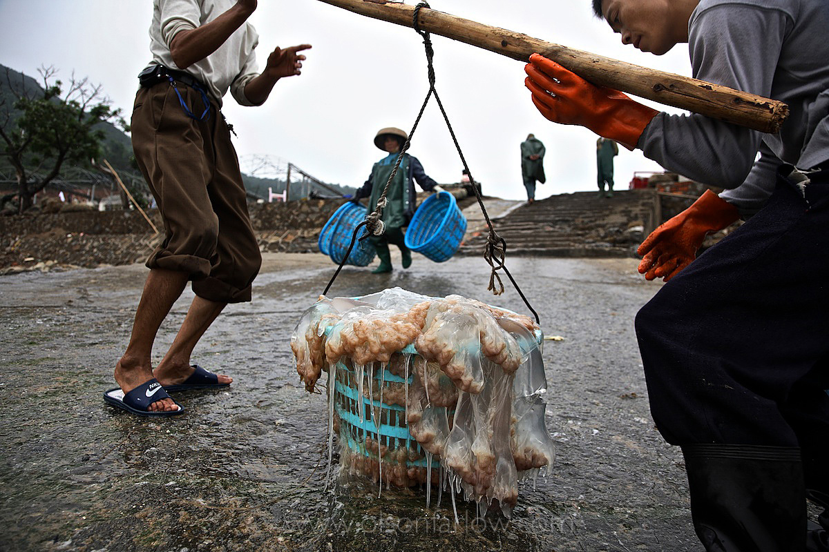 Fishing down the food chain | jellyfish is a delicacy to the Chinese