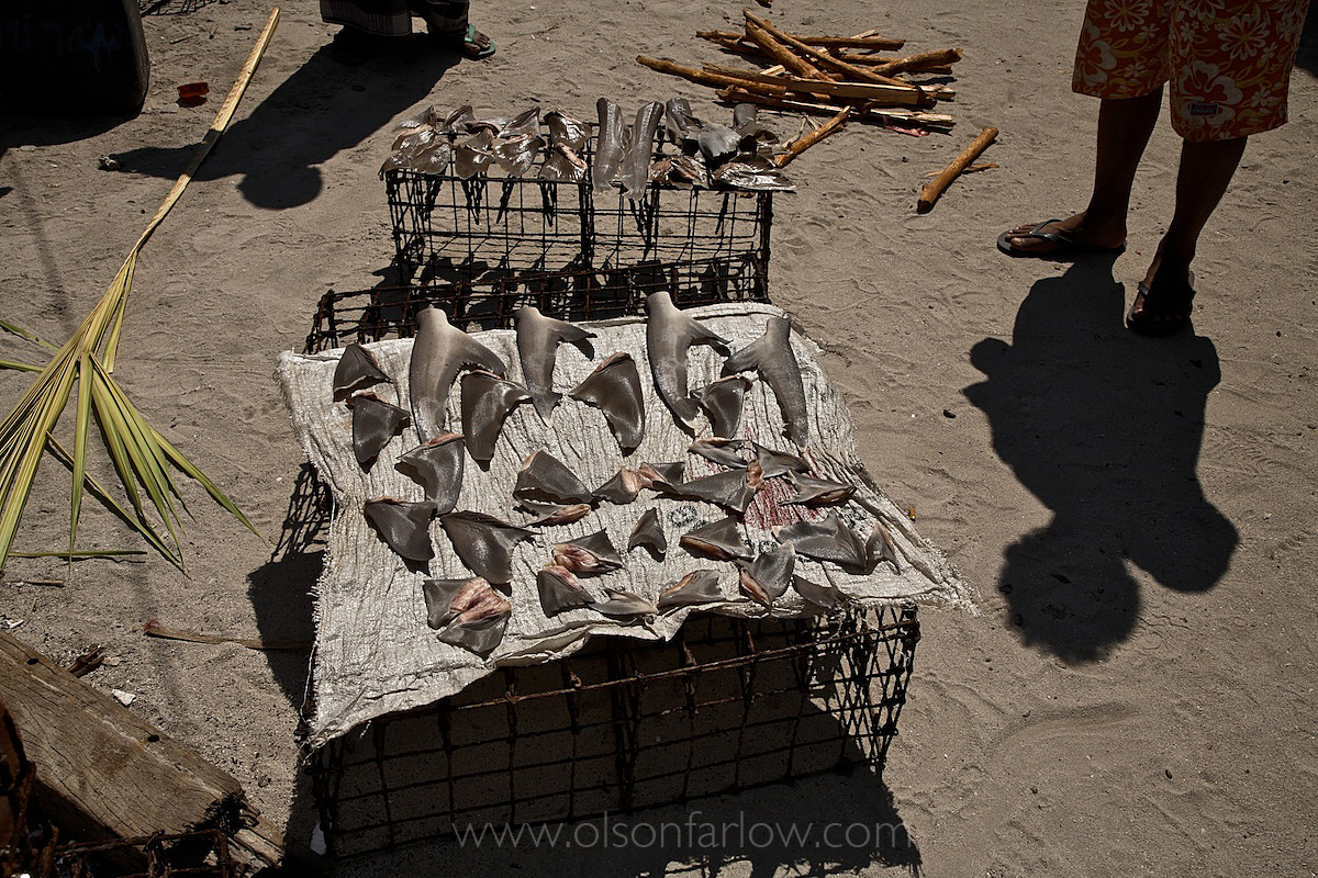 Shark Fins for Sale in Indonesia