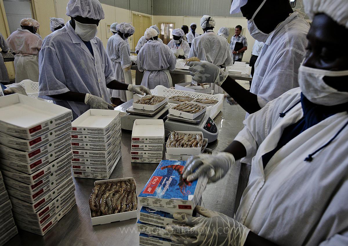 African Workers Process Shrimp in European Factory | Dakar, Senegal