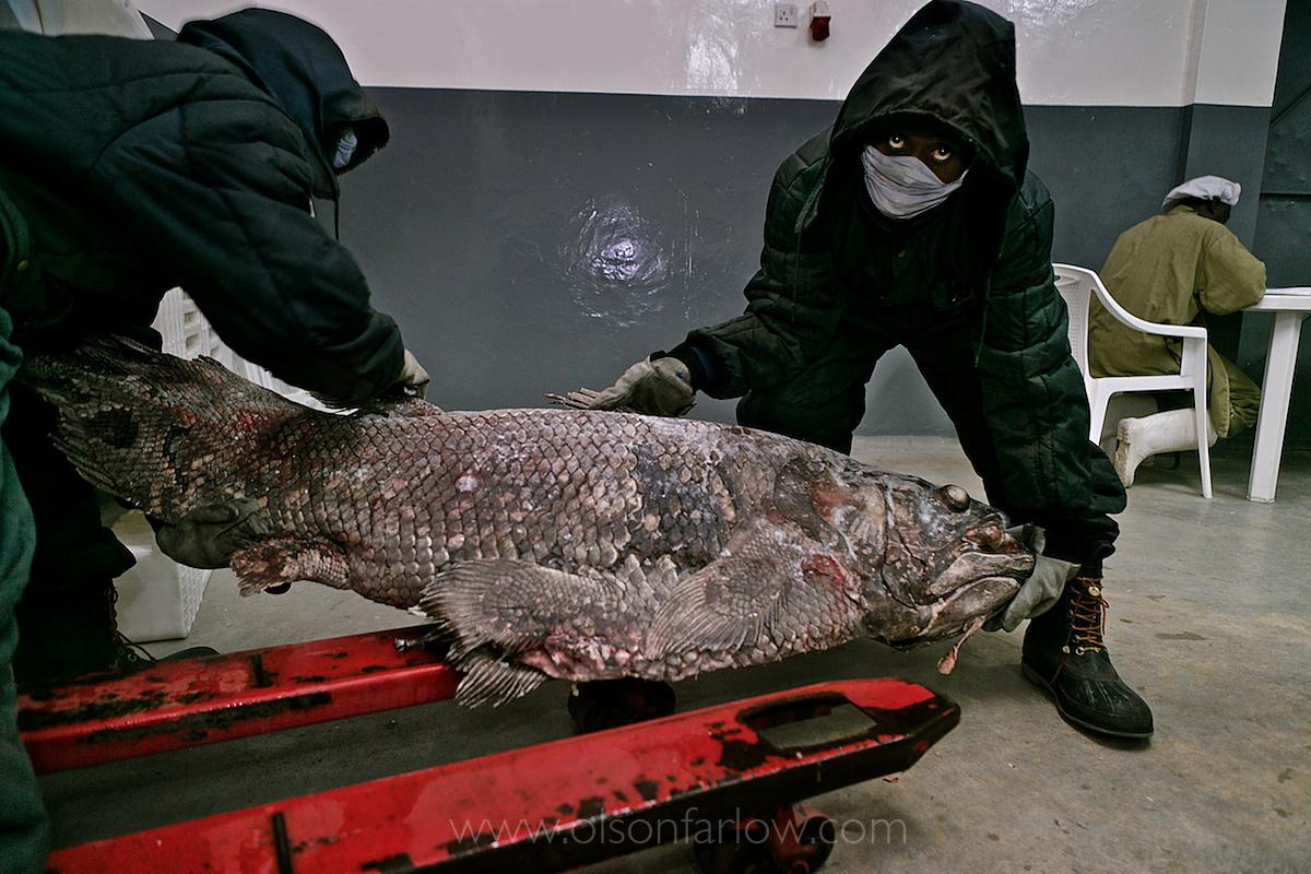 Coelacanths | Bridge the Gap to First Mammals to Walk on Land
