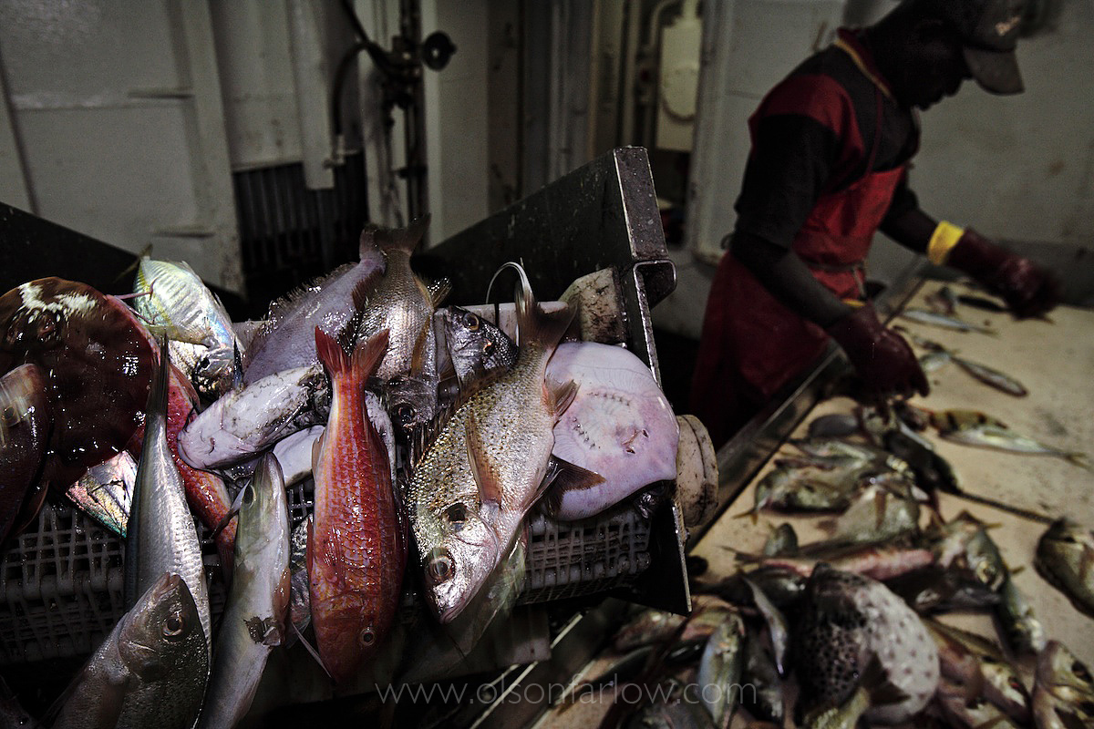 Sorting Fish on EU Factory Trawler | Senegal
