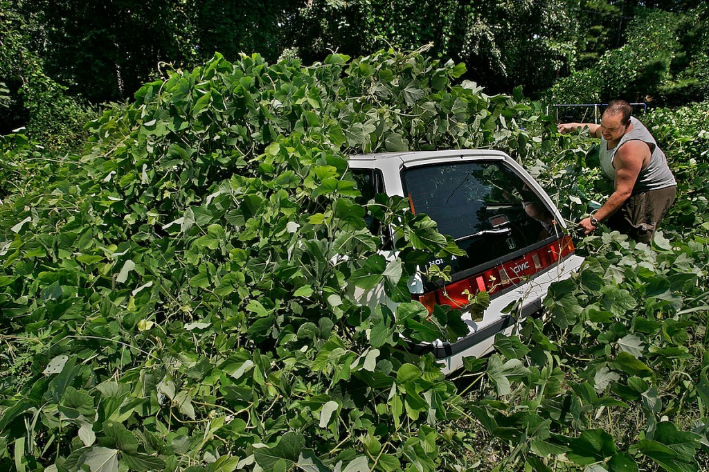 Man pulls at thick green vine to expose a car covered by plant.