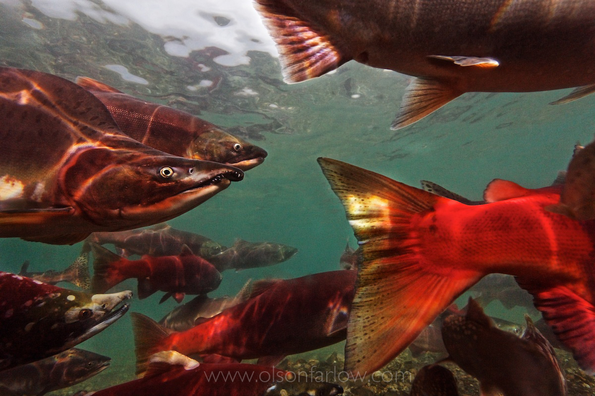 Kamchatka, Russia | Where the Salmon Rule, National Geographic Magazine