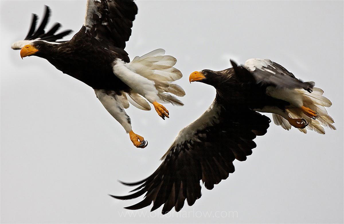Stellar Sea Eagles
