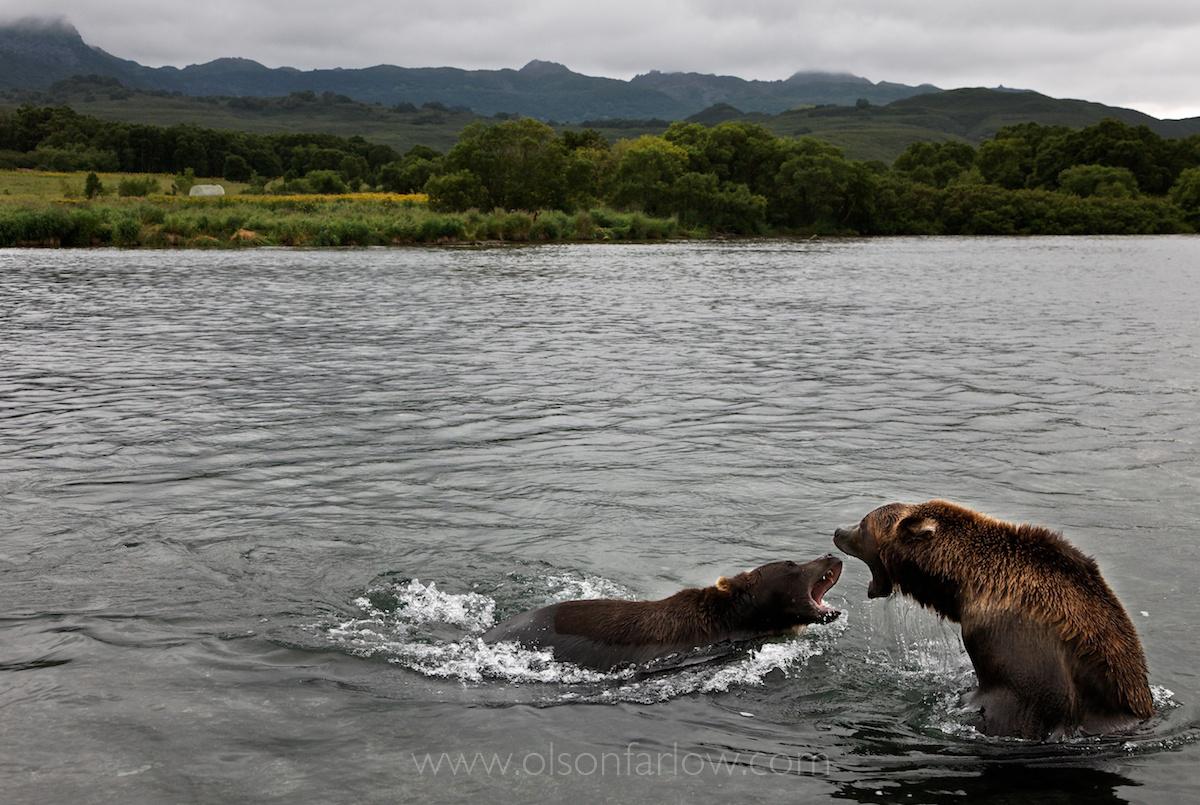 Bears Fight Over Kamchatka Salmon