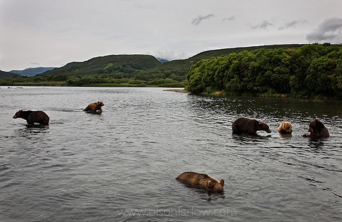 Grizzlies or Brown Bears in Kamchatka