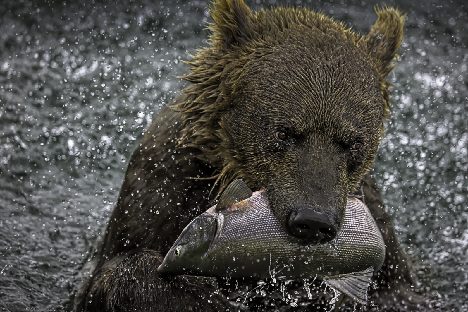 Russian Brown Bear Catches Salmon