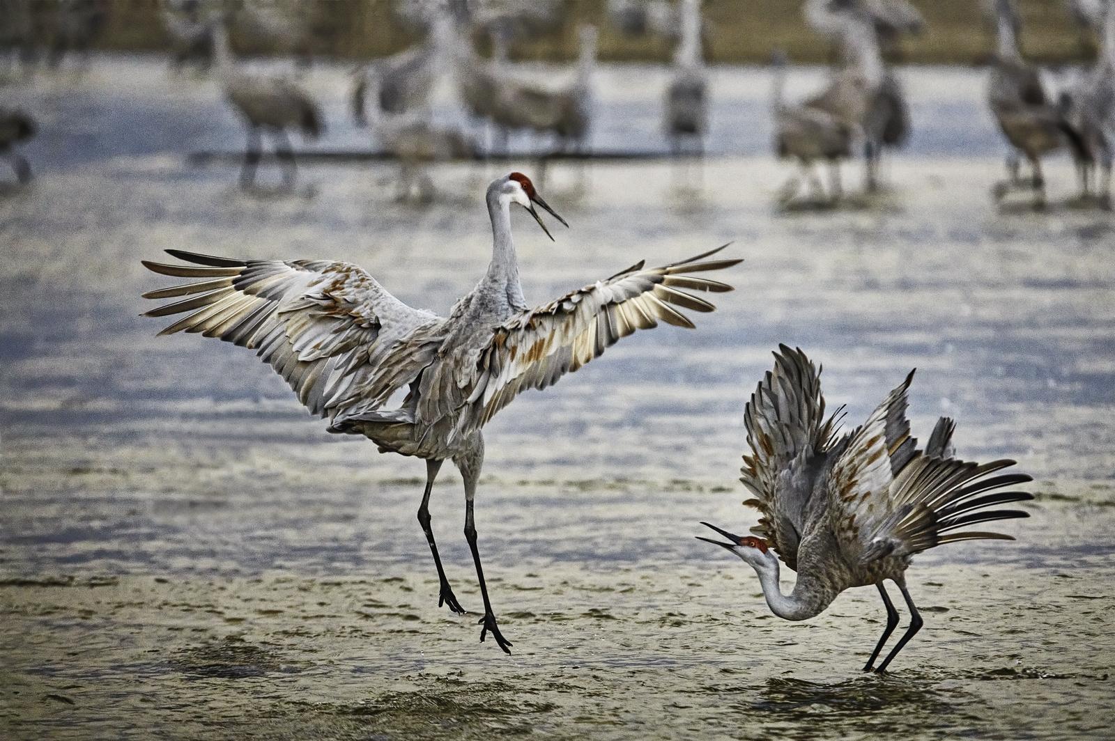 Courting Sandhill Cranes