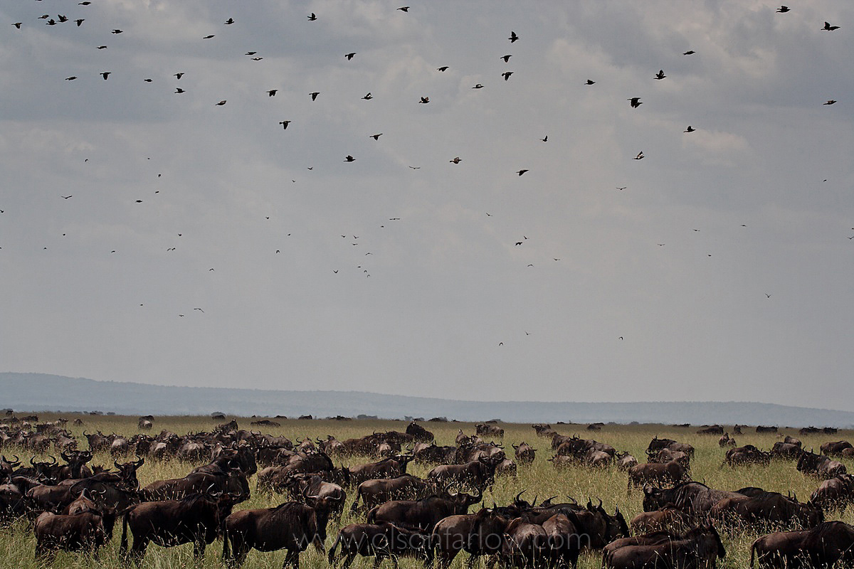 Maasai, Lost in the Stampede, National Geographic 1
