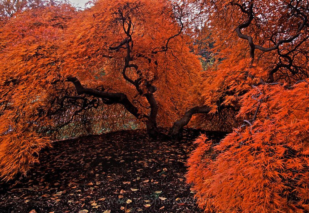 Startling orange leaves adorn a small speciman tree.