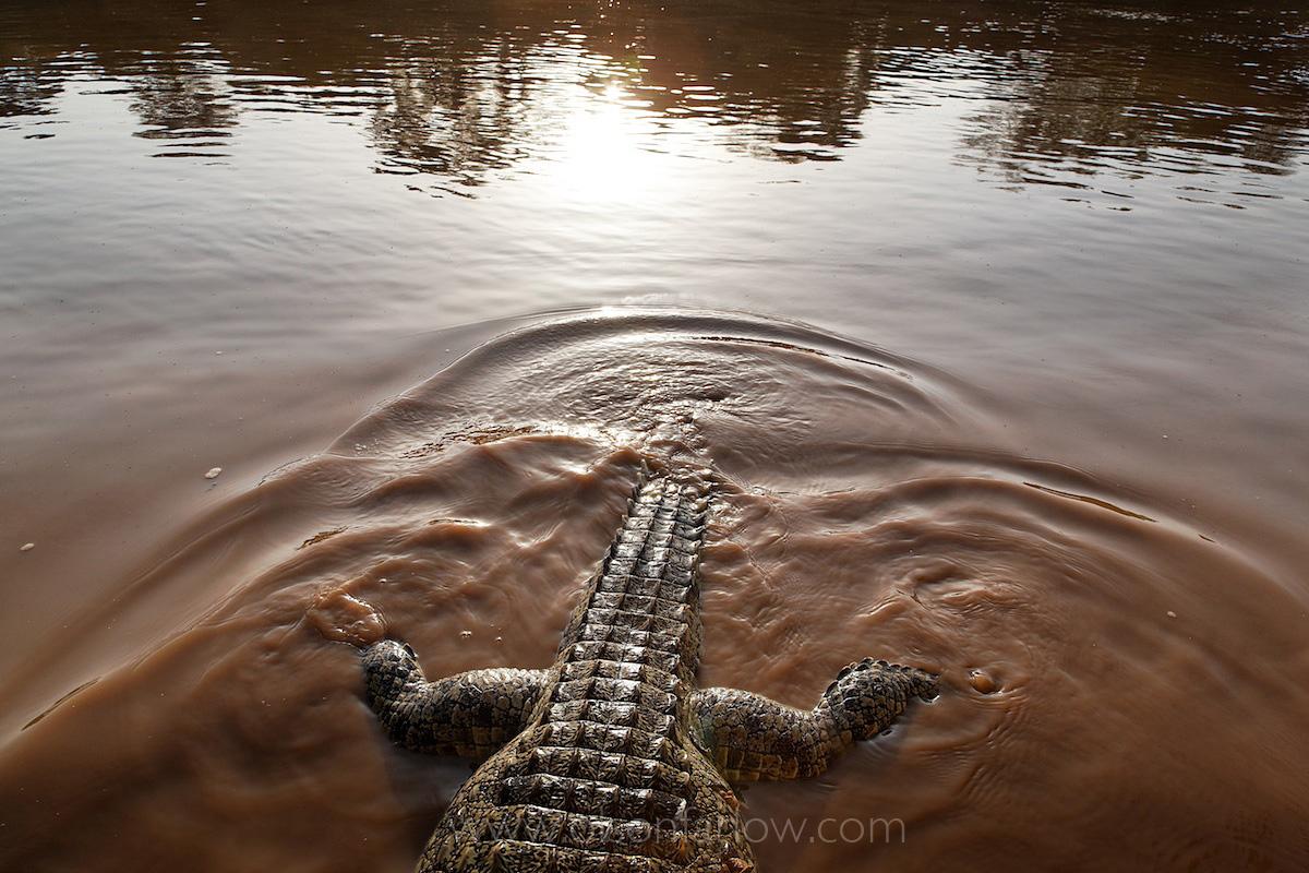 Crocodile on Omo Riverbank