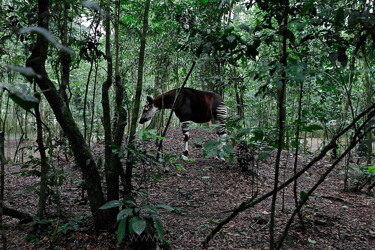 Okapi, a Forest Giraffe Only Exists in the Ituri Forest | DR Congo, Africa