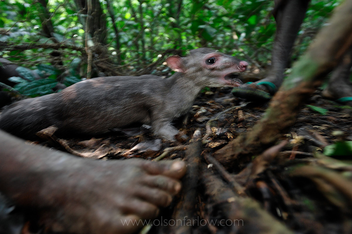 Blue Duiker Caught by Net Hunting Pygmies | Ituri Forest, DR Congo
