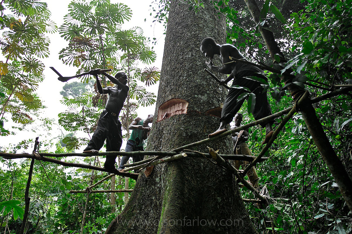 Pygmies Are Hired to Cut Down Their Own Forest | Ituri Region | DR Congo