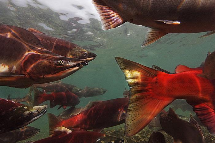 Salmon in Kurilskoe Lake