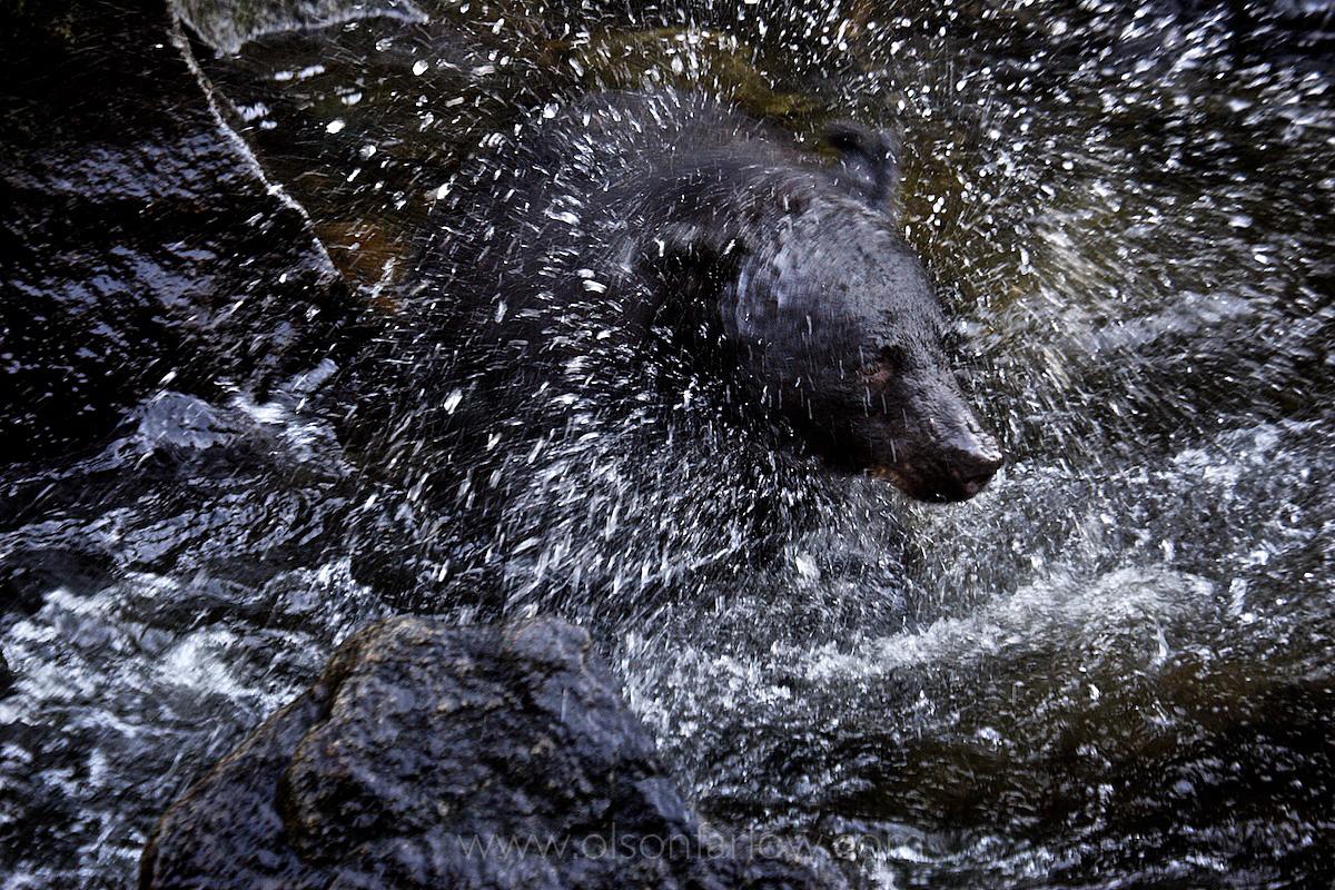 Black Bear Fishing For Salmon