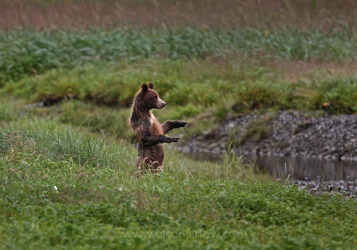 Juvenile Grizzly Bear
