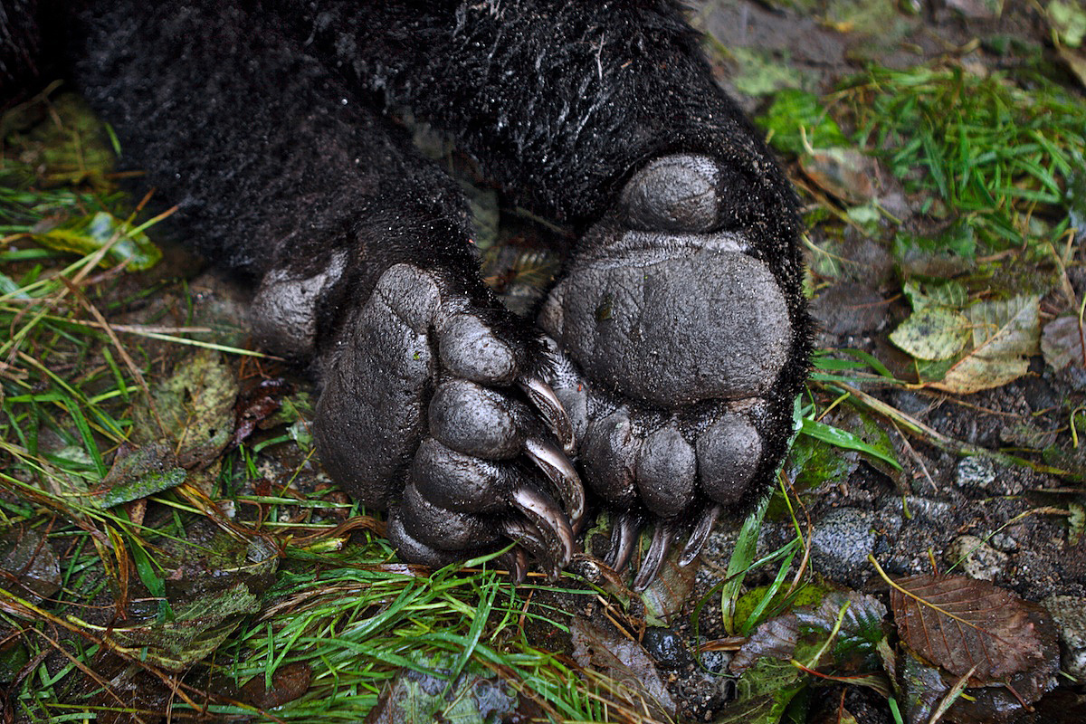 Brown Bear Paws