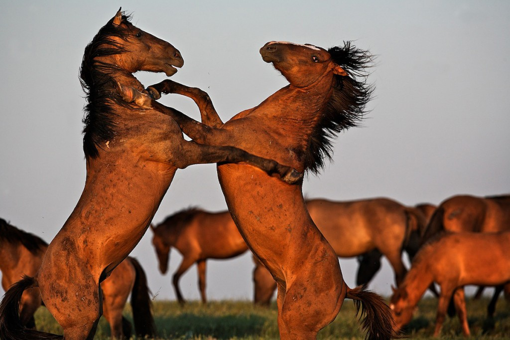 Horse Behavior shows Wild Horses fighting in  South Dakota.