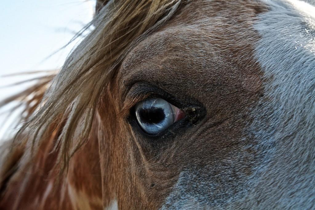 Blue-eyed Palomino Horse Close Up