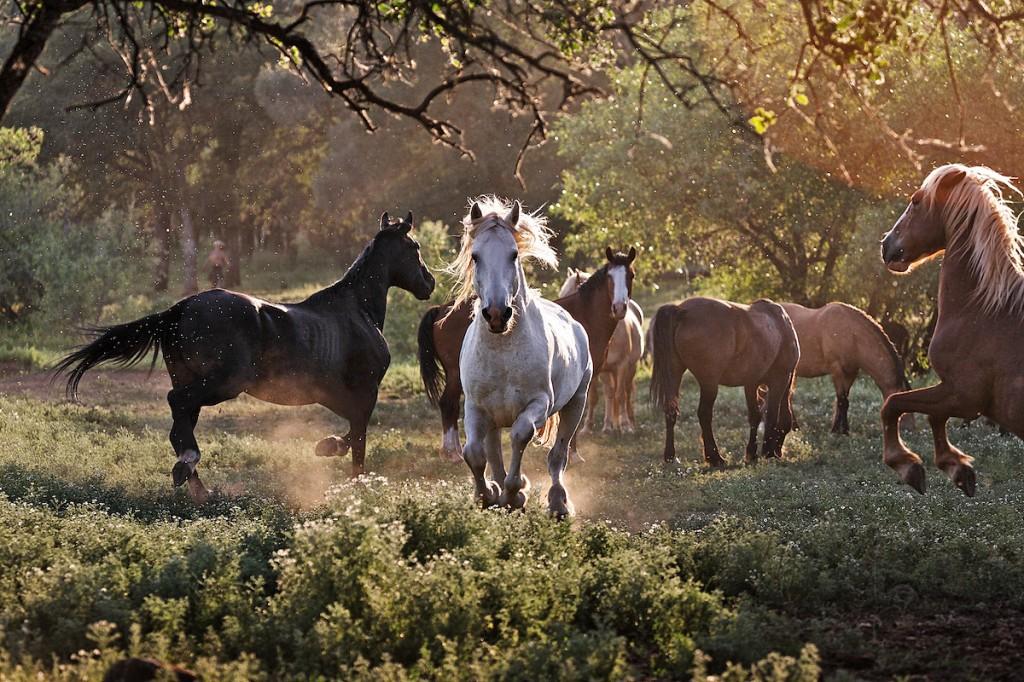 White Stallion Gallops, Wild Horse Behavior