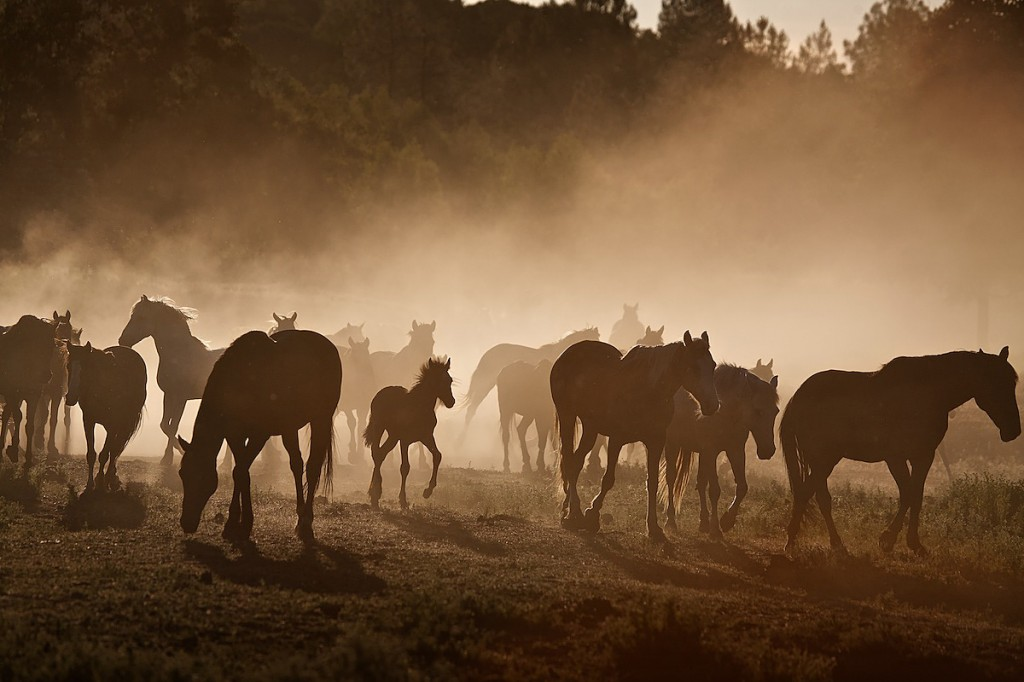 Young horse walks through middle of wild horse herd in sepia-colored dust cloud.