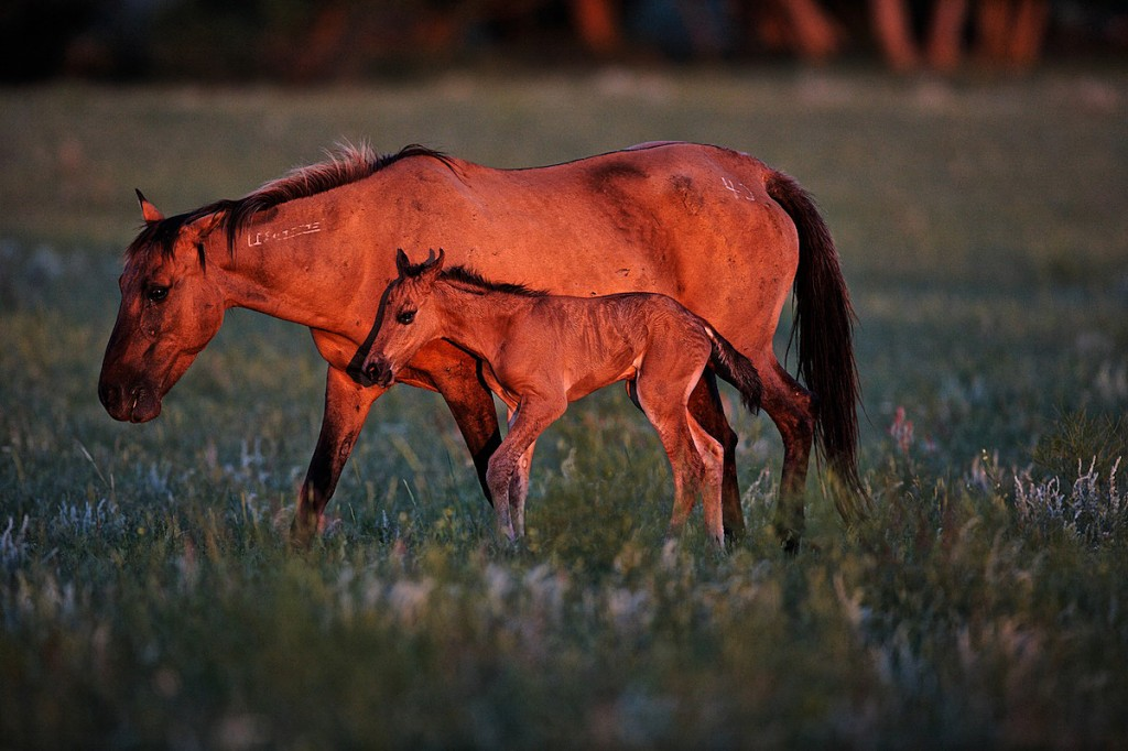 A baby wild horse unsteadily walks with his mother through a field in the early morning.