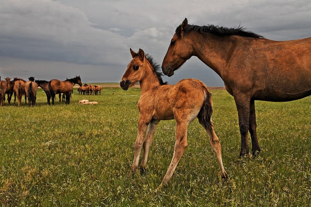 Wild horse mother watches over young foal near herd as storm clouds fill sky.