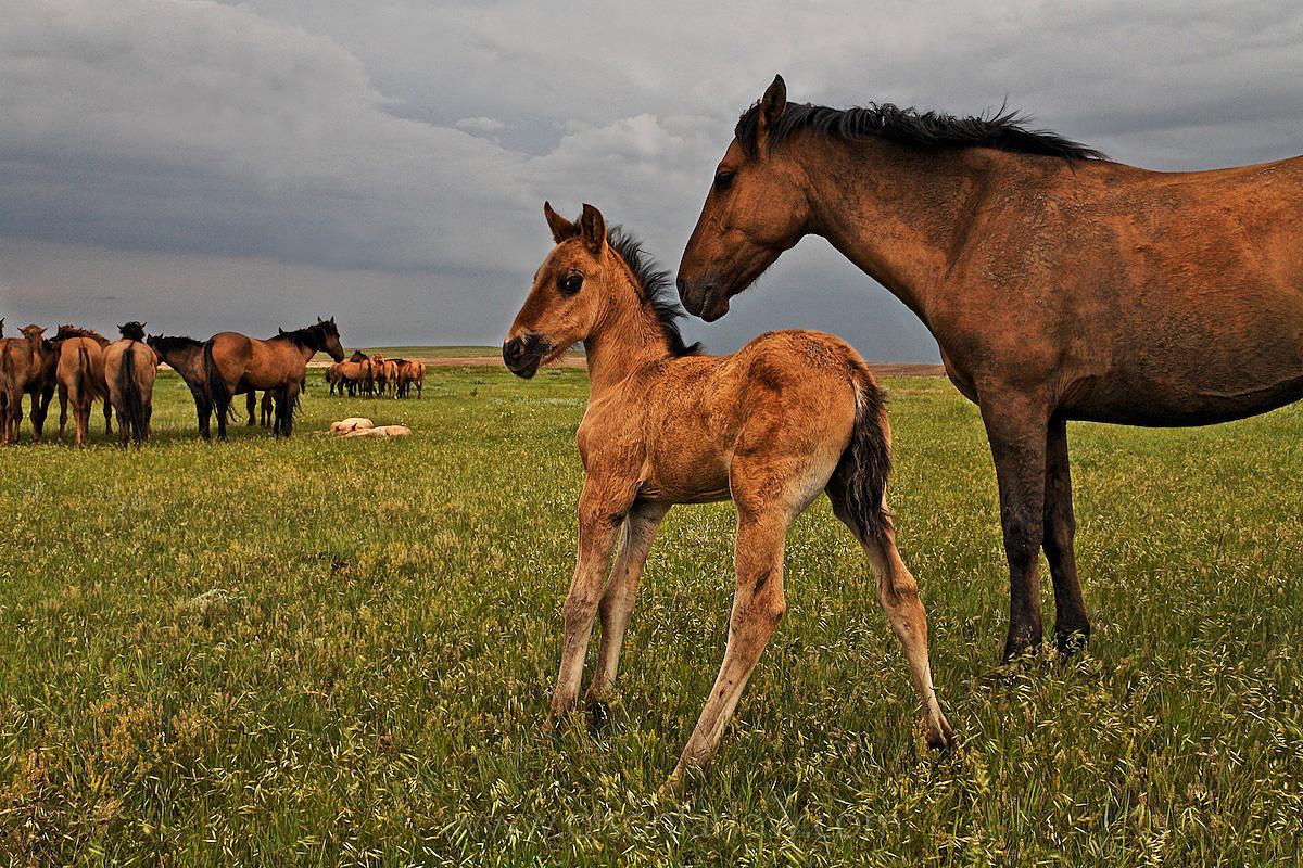 Mares and Foals Watchful in Wild Horse Herd