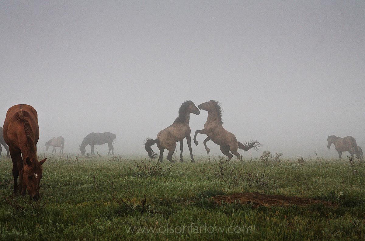 Fighting Wild Horses Exhibit Dominance Behavior