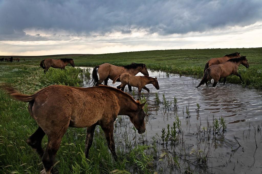 Wild horses cross a full stream after heavy rains.