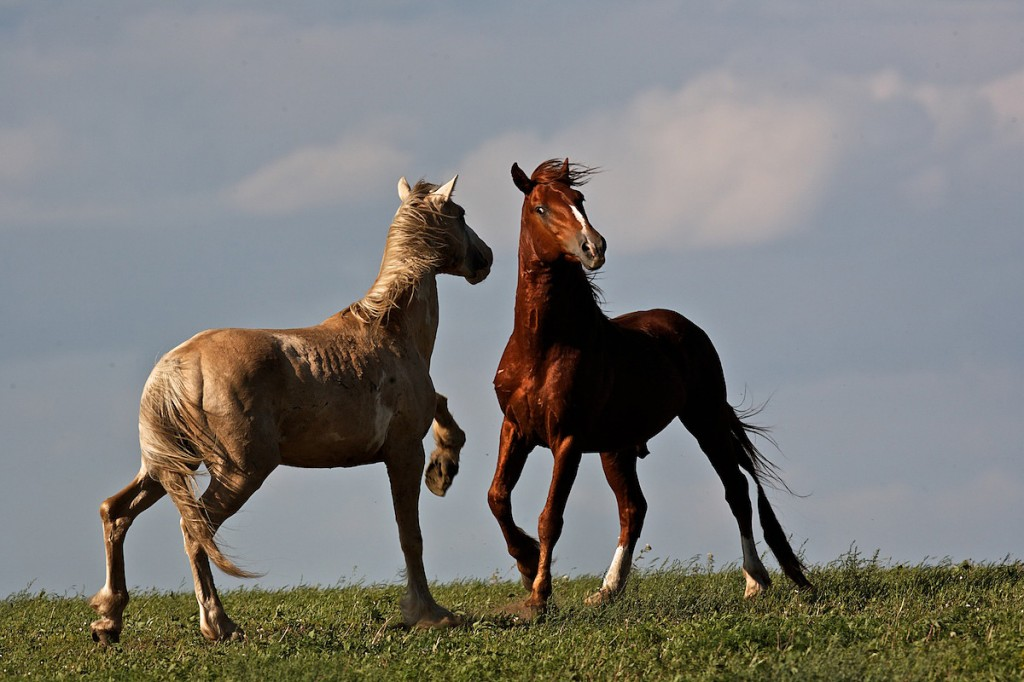 Two horses face each while pawing the ground in a ritual that can preclude a fight.