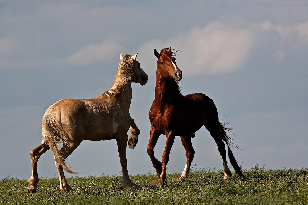 Fight Or Flight Behavior As Stallions Face Off