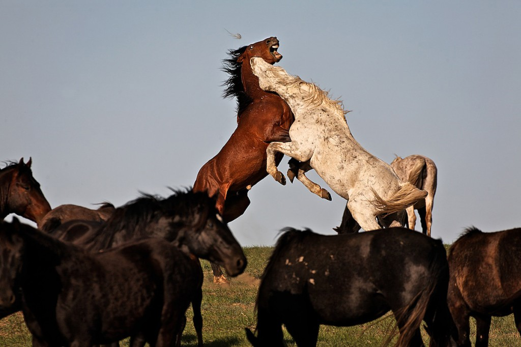 Gray wild horse bites throat of brown stallion challenger in agressive battle within the herd.