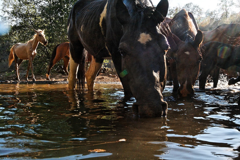Summer heat draws wild horses to drink water in northern California.