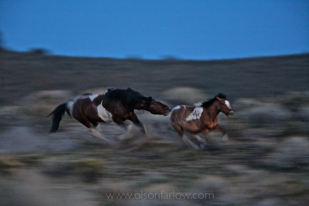 Wild Stallions Chase Sexually Maturing Males