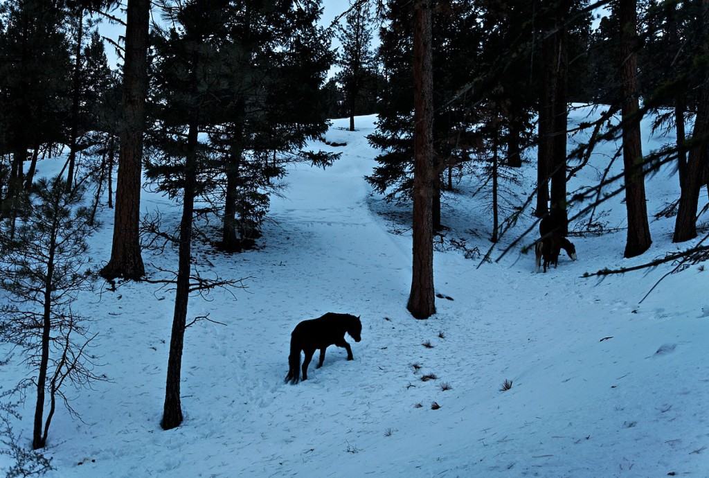 Wild horse climbs through deep snows into the woods to find food to eat in the winter.