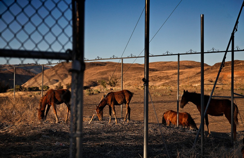 Horses are down to skin and bones as they find a few dry grasses to eat in an abandoned industrial location in Nevada.