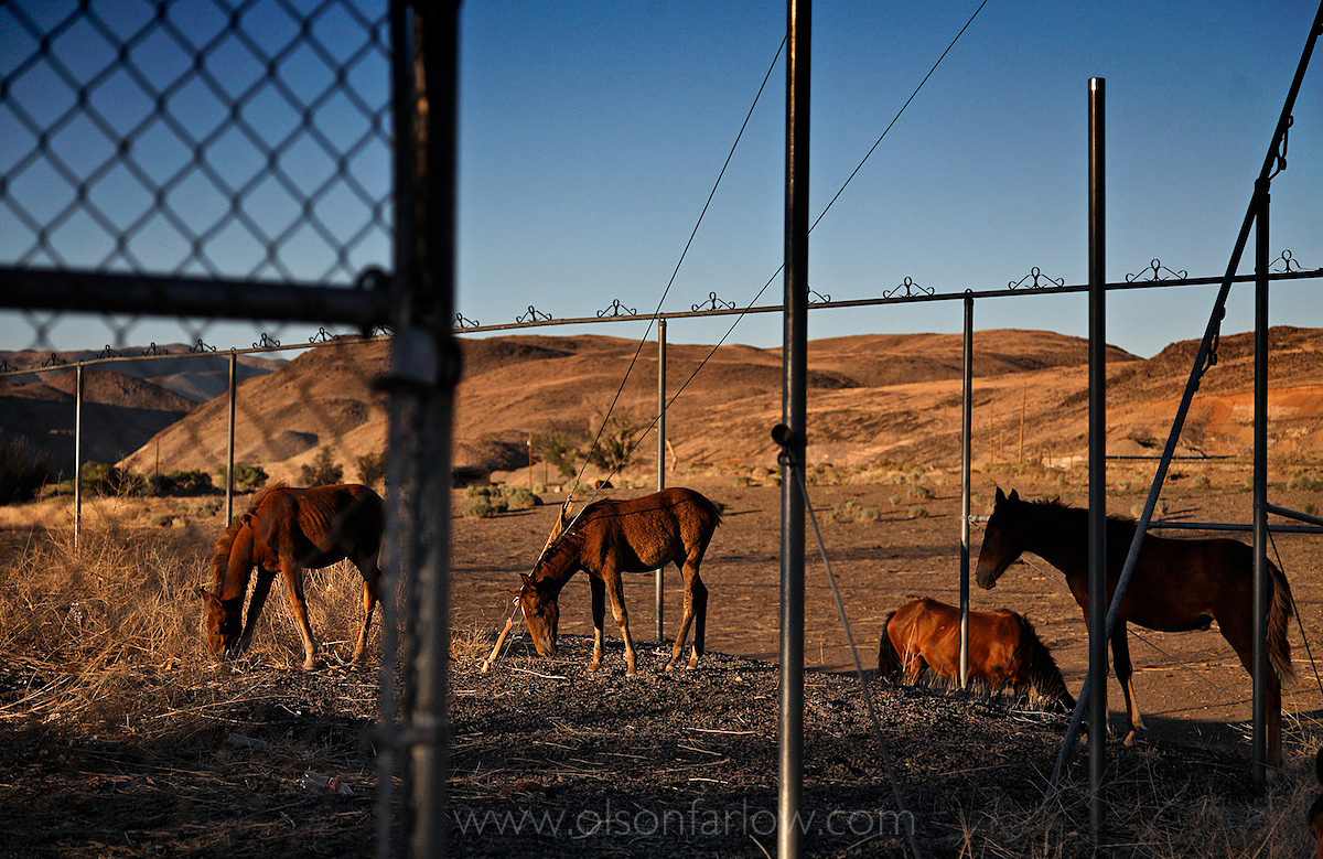 Wildlife Survival Issues Of Starving Horses Grazing on Industrial Site