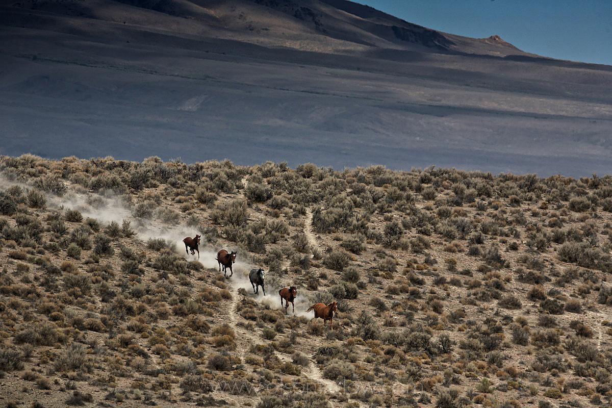 Wild Horses Run On Nevada Desert Landscape