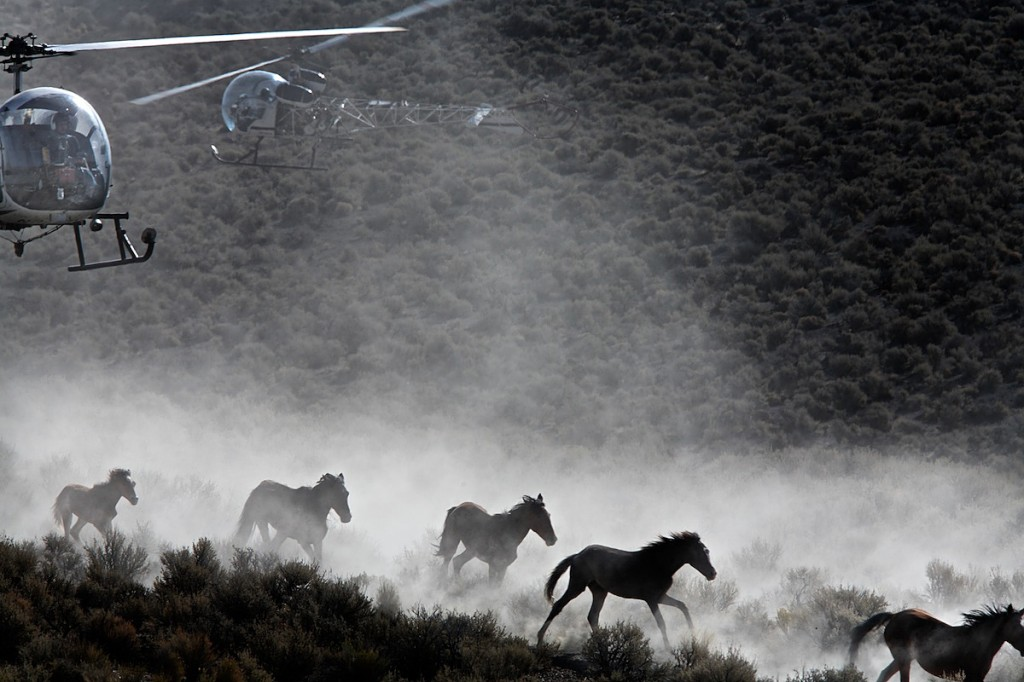 Chased by helicopters, wild horses stampede through sagebrush and rangeland.
