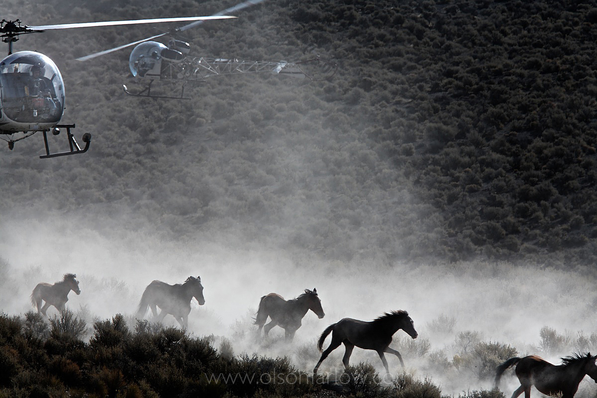 Chaos in Helicopter Roundup of Wild Horses