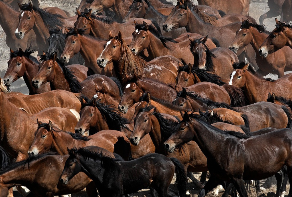 Brown faces of wild horses that run from danger.