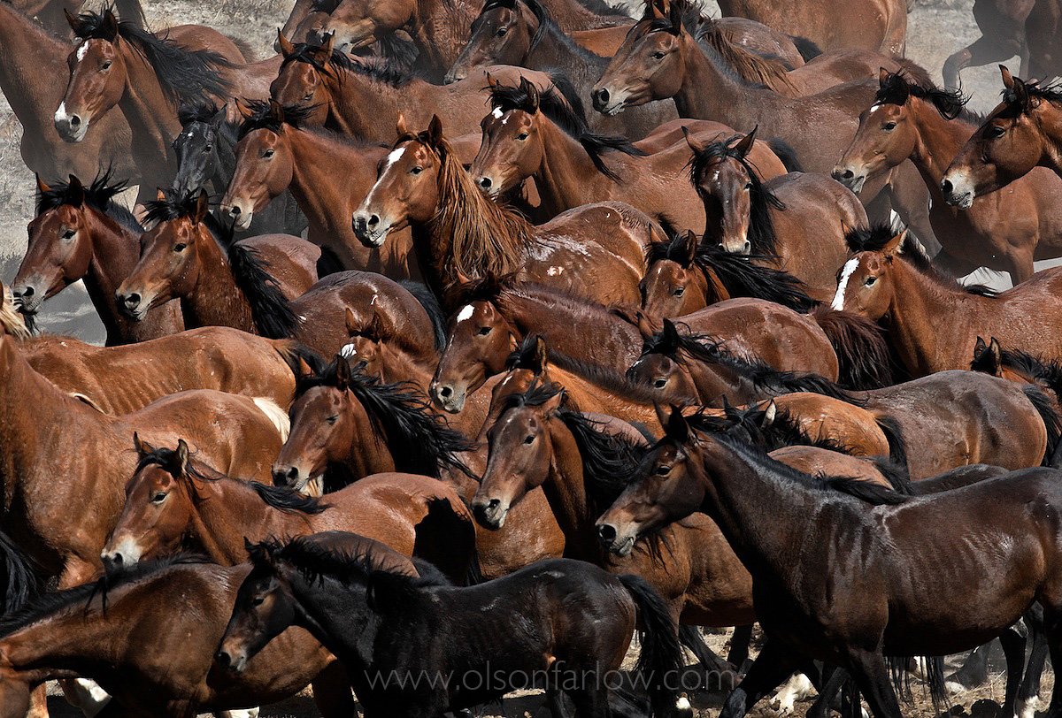Wild Horse Herd Packed Together In Roundup