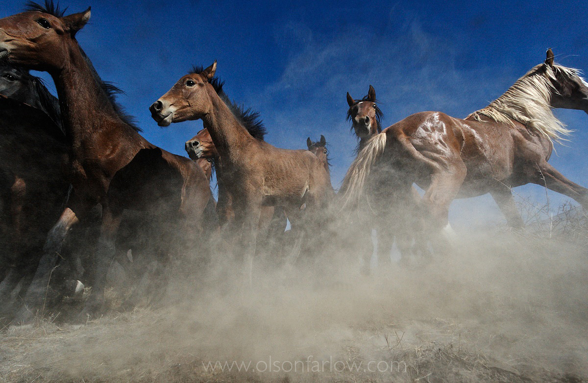 Confused Horses Panic When Captured